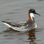 Female breeding plumage