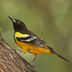Male. Note: black breast and back and bright yellow belly.