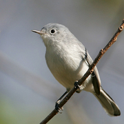 Female. Note: thin, white eye-ring; long tail with white underside.