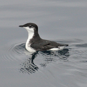 Typical plumage: scrippsi race, the more northerly race, pictured.