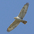 Juvenile Ferruginous Hawk, light morph