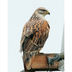 "Adult ""light morph"" Ferruginous Hawk. Note: reddish back and wings, yellow gape."
