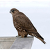 Juvenile Gyrfalcon (dark morph)