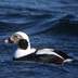 Male, non-breeding (winter) plumage.