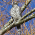 Juvenile Northern Goshawk. Note: white supercilium