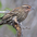 Female. Note: rufous tinged throat and densce streaking.