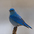 Male. Note: blue overall and thin dark bill.