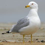 Adult breeding plumage. Note: yellow bill with dark ring, yellow legs, pale eye, and light gray mantle.