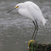 Adult. Note: yellow lores and yellow feet.