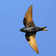 Male in flight. Note: dark blue body, and slightly forked tail.
