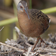 Adult. Note: gray face, reddish brown breast, and dark bill.